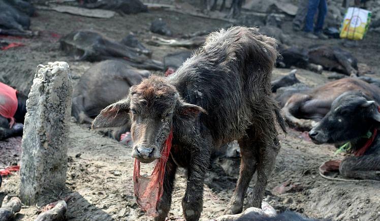 ketto- Let's STOP Animal Sacrifice at Gadhimai
