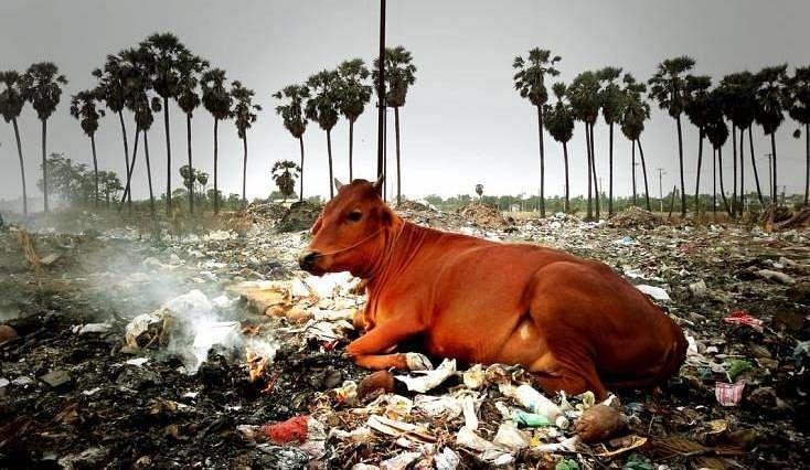 Cowshed & Beef Ban