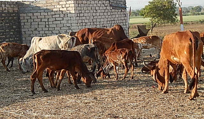 Welfare Of  Sick and Stray cows in Gujarat